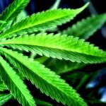 Marihuana leczy raka – zobacz 20 badań medycznych