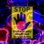 Czy Unia Europejska zatwierdzi kukurydzę Monsanto GMO?