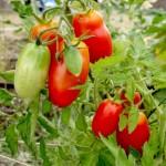 Pomidory mogą zapobiec wystąpieniu raka żołądka